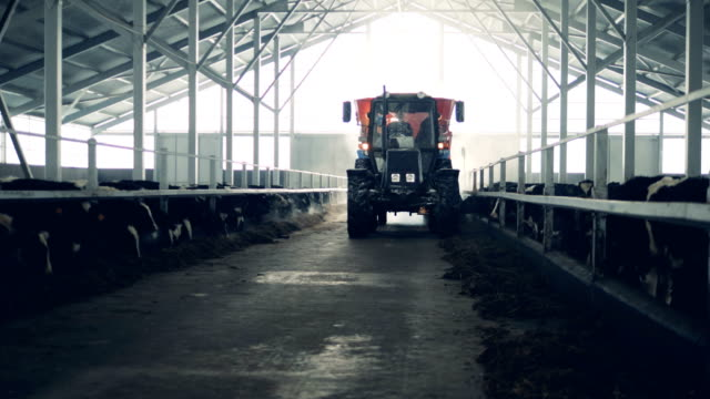 A man drives a tractor in a cowshed, close up.