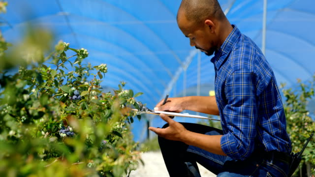 man examining blueberries in blueberry farm 4k - orticoltura video stock e b–roll