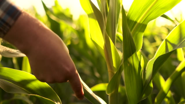 A man farmer with a tablet examines the corn crop in the field of sunlight in the lens