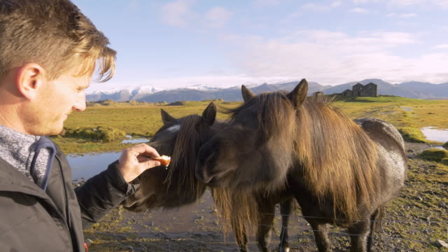 Man feeding Icelandic horses Two shots of a man feeding Icelandic horses in a paddock somewhere in the countryside of Iceland. In the background is visible an old farm house. Also available in 4K resolution. paddock stock videos & royalty-free footage