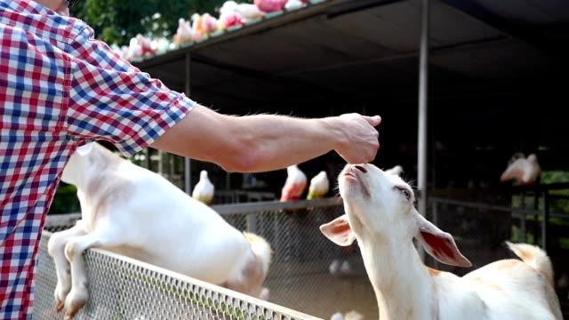 vídeos de stock, filmes e b-roll de homem alimentando ovelhas na fazenda em câmera lenta. 1920 x 1080, hd - animais da fazenda