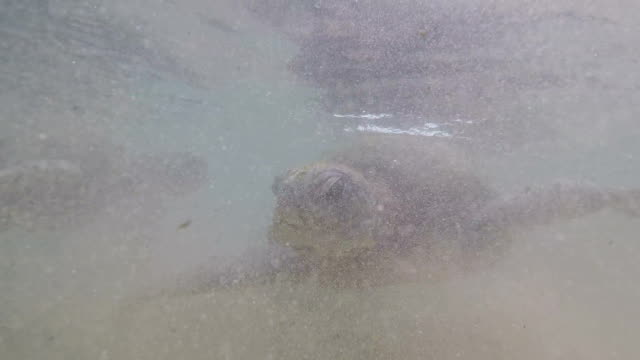 Man feeds a large sea turtle swimming underwater in the ocean