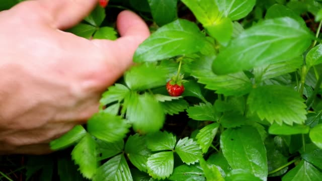 Man forages wild strawberries on the forest floor. video