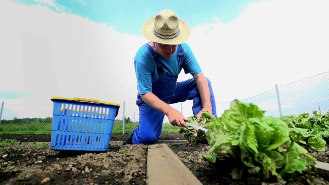 Man Harvest Salad Vegetable from Garden video