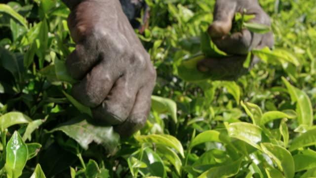 vídeos de stock e filmes b-roll de cu man harvesting fresh green tea leaves,sri lanka - sri lanka
