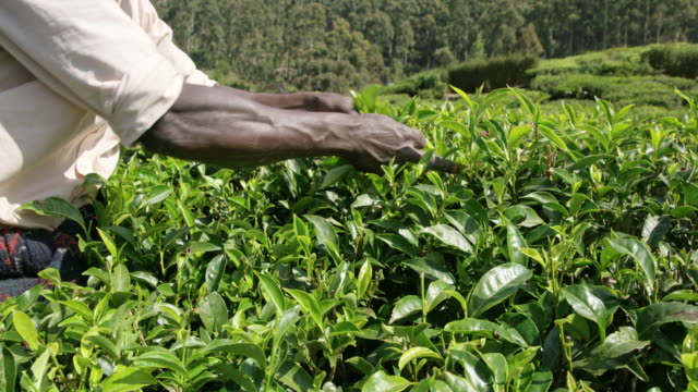 MS Man harvesting fresh green tea leaves,Sri Lanka