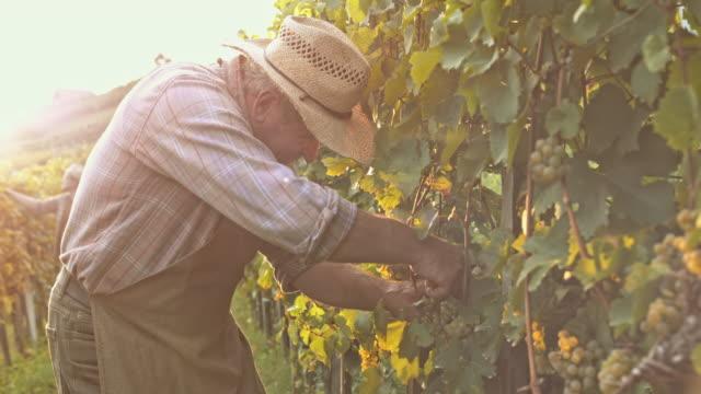 vídeos de stock e filmes b-roll de man harvesting grapes with garden shears at sunset - picking fruit