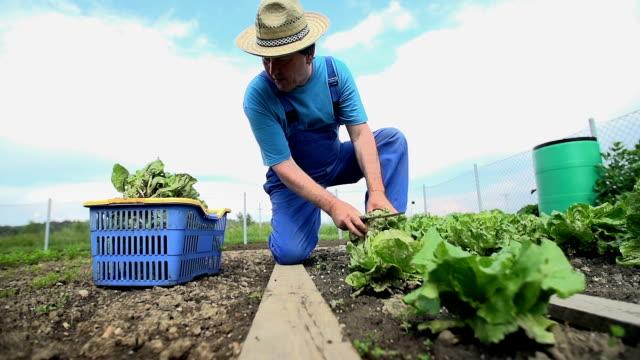 Man Harvesting Salad from Garden Wide shot Slow Motion video