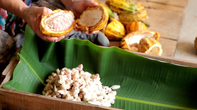man holding a ripe cocoa fruit with beans inside and Bring seeds out of the sheath. video