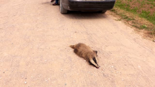 Man near dead badger on the road video