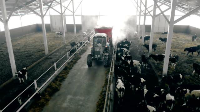 vídeos de stock e filmes b-roll de man on a tractor feeds cows in a barn, top view. - gado animal doméstico