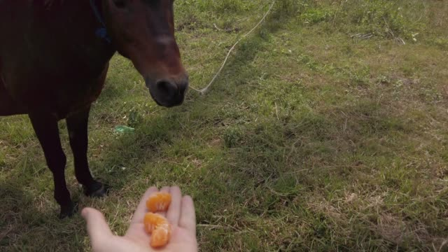Man petting and feeds small horse a mandarin. Horse face Close up footage. Horse grazing in field, palm trees on background. Sunny day. Koh Samui, Thailand.