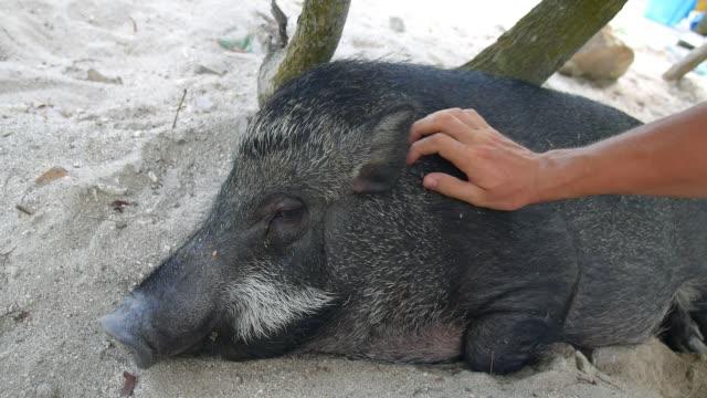マン・ペッティング・ビッグ・ボア - 子豚点の映像素材/bロール