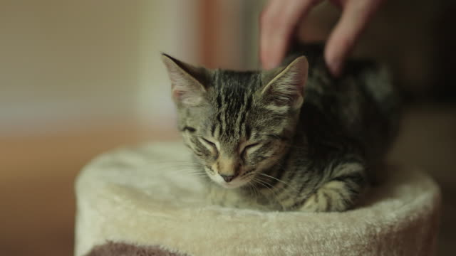 Man Petting Cute Domestic Shorthair Tabby Kitten / Cat while Sleeping on Cat Tree Man Petting Cute Domestic Shorthair Tabby Kitten / Cat while Sleeping on Cat Tree shorthair cat stock videos & royalty-free footage