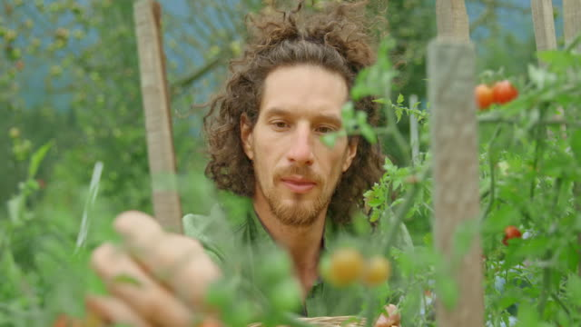 Man picking cherry tomatoes and putting them into a basket Medium handheld shot of a young male gardener picking cherry tomatoes in his permaculture garden and placing them into a small basket. Shot in Slovenia. vegetable garden stock videos & royalty-free footage