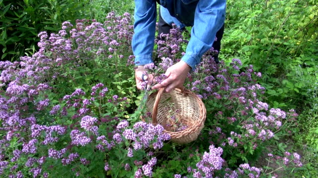 Man picking flowering oregano video