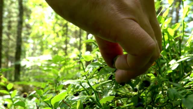 man ernte wilden berriesin national park-wald - pflücken stock-videos und b-roll-filmmaterial
