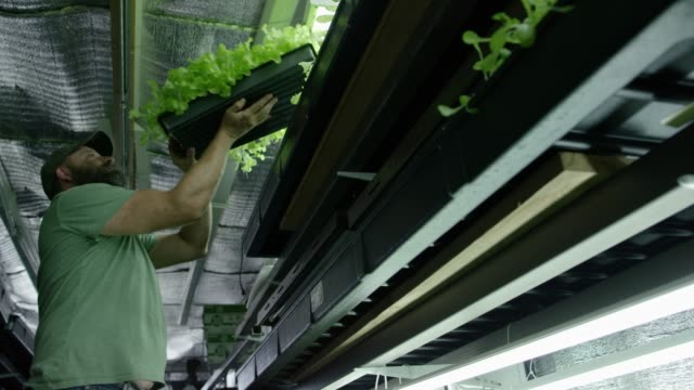 A Man Places Plants under Light A middle-aged Caucasian man with a beard moves a tray of leafy green plants from a top shelf to underneath artificial grow lights in a warehouse. hydroponics stock videos & royalty-free footage
