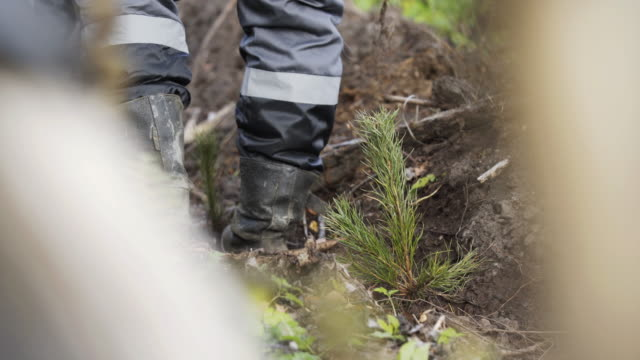 A man plants a tree. Close-up video. Planting forests manually. Reforestation on the planet. A forest worker is planting a tree. A forester manually plants a coniferous seedling of a tree. video
