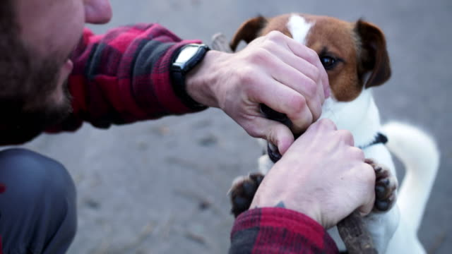 Man playing with dog Jack Russel terrier in motion with a stick in his mouth. video