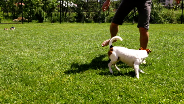 A man plays soccer with his dog: funny Jack Russel terrier follows the ball A man plays soccer with his dog: funny Jack Russel terrier follows the ball jack russell terrier stock videos & royalty-free footage