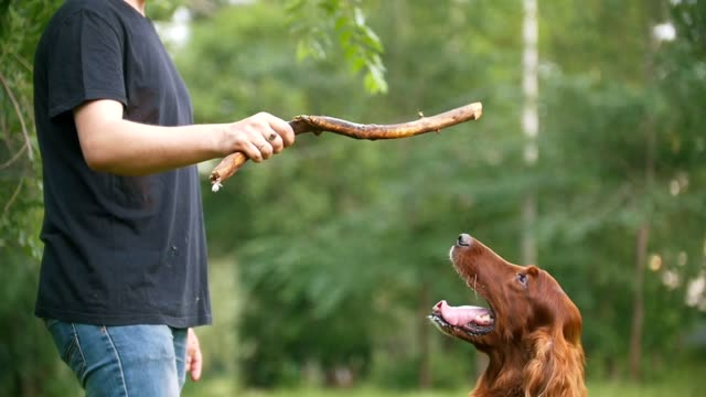 Man plays with his pet dog - irish setter. Male give him branch of the tree Man plays with his pet dog - irish setter. Male give him branch of the tree slow motion setter dog stock videos & royalty-free footage