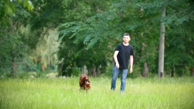 Man plays with his pet dog - irish setter. Male throws branch in grass