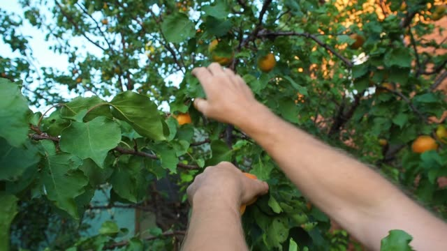 a man plucks large ripe apricots from a tree branch. hand close-up. an orchard with green leaves and fruit. harvest time. natural homemade village sweets and vitamins. - albicocca video stock e b–roll