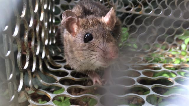 man provoke rat in cage - baffo parte del corpo animale video stock e b–roll
