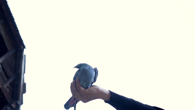 man releasing a pigeon from hand - colombaccio video stock e b–roll