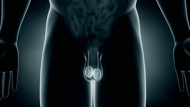 man scrotum anatomy - penis stok videoları ve detay görüntü çekimi