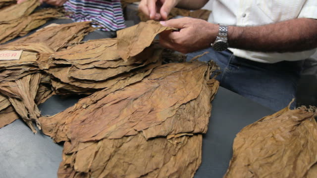 Man separating leaves for cigar production. video