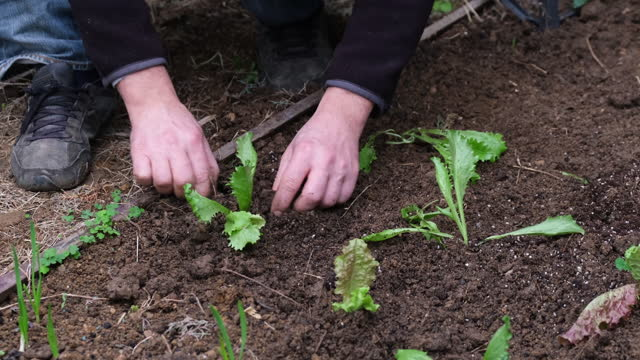 Man sowing lettuce vegetable at farm