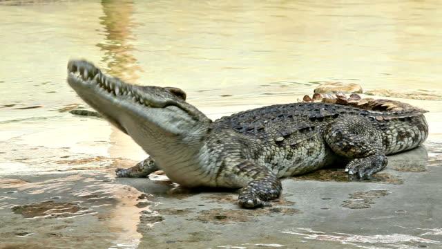 man tease crocodile man tease crocodile in Thailand snapping stock videos & royalty-free footage