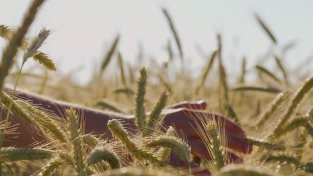 Mann rührend schöne Weizenfeld mit blauen Himmel und epische Sonnenlicht - Schuss auf rot – Video
