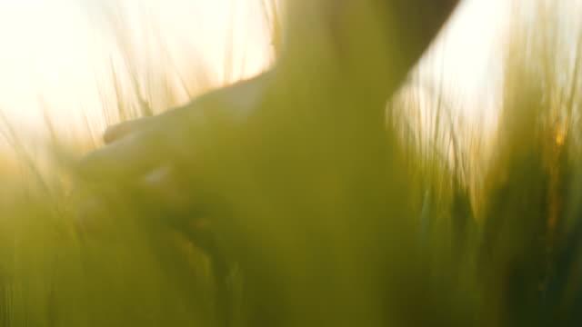 vidéos et rushes de homme touchant les cultures 4k - seigle grain