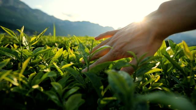 Man touching tea leaf