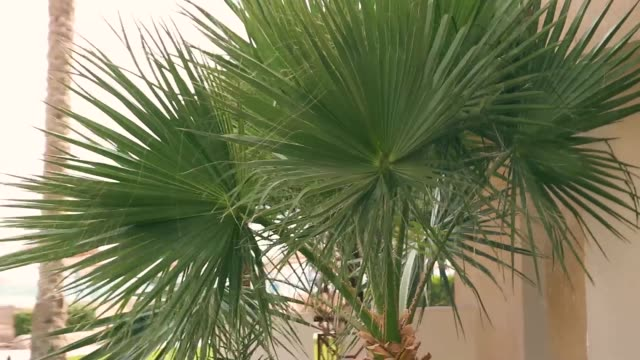 man up a palm tree tossing a coconut nut down video