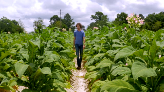 man walking through a tobacco field with flowering plants - nicotina video stock e b–roll