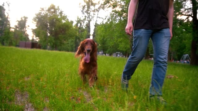 Man walking with his dog irish setter in the park Man walking with his dog irish setter in the park slow motion irish setter stock videos & royalty-free footage