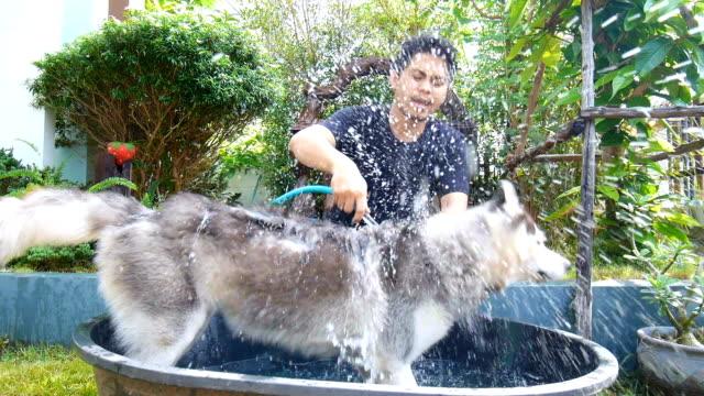 Chien laver de l'homme dans le jardin. Un Husky Sibérien secoue d'eau - Vidéo