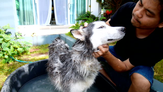 Man washing dog in garden. A Siberian Husky was cleaned by owner video
