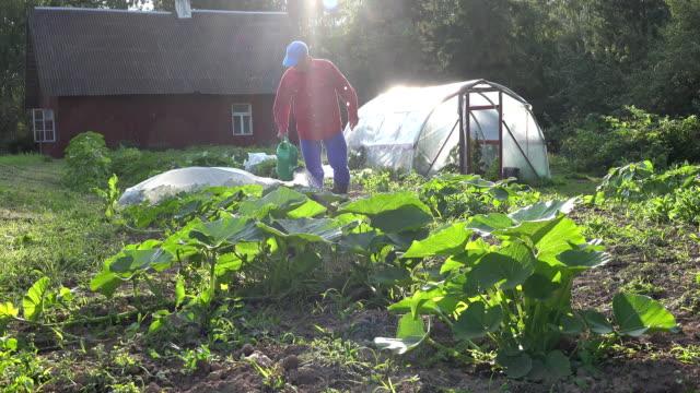 man watering fresh pumpkin and zucchini in own eco garden. FullHD video