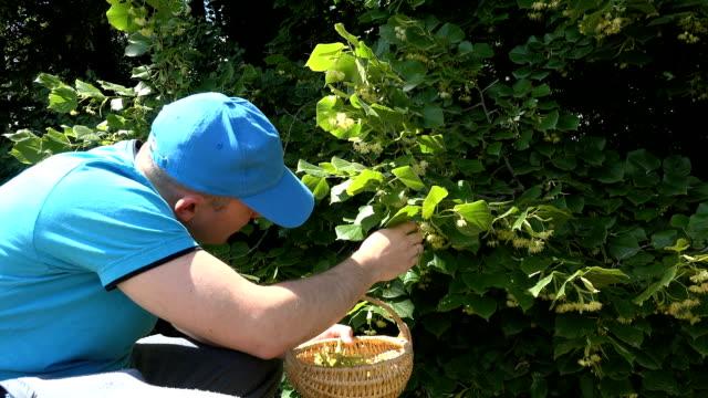 man with blue shirt pick fresh linden blossom green park summer video