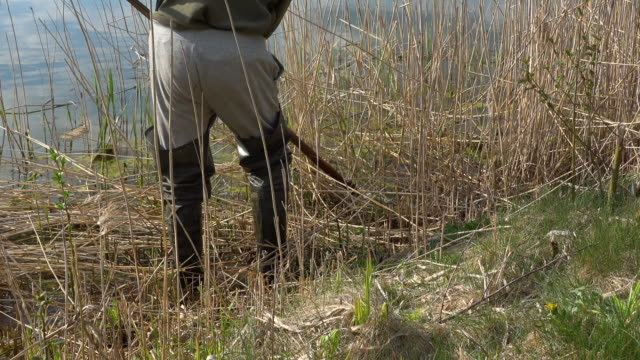 Man with rubber boots scything overground rushes by the lake shore. Man cutting bulrushes with old scythe outside on a sunny day