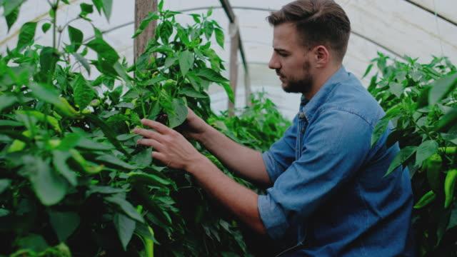 man working in greenhouse - gospodarstwo ekologiczne filmów i materiałów b-roll