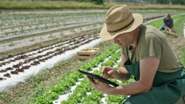 Man working with the use of a digital tablet in the lettuce field video