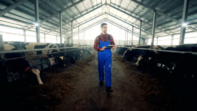 Man works with a tablet in a cowshed, close up.