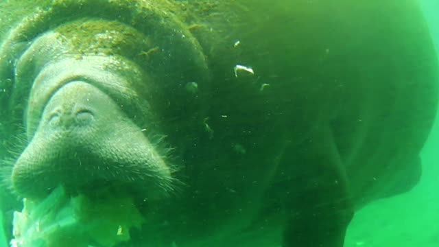 Manatee eating Florida video