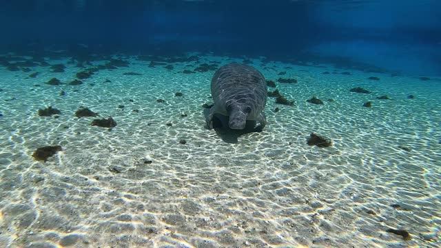 Manatee swims